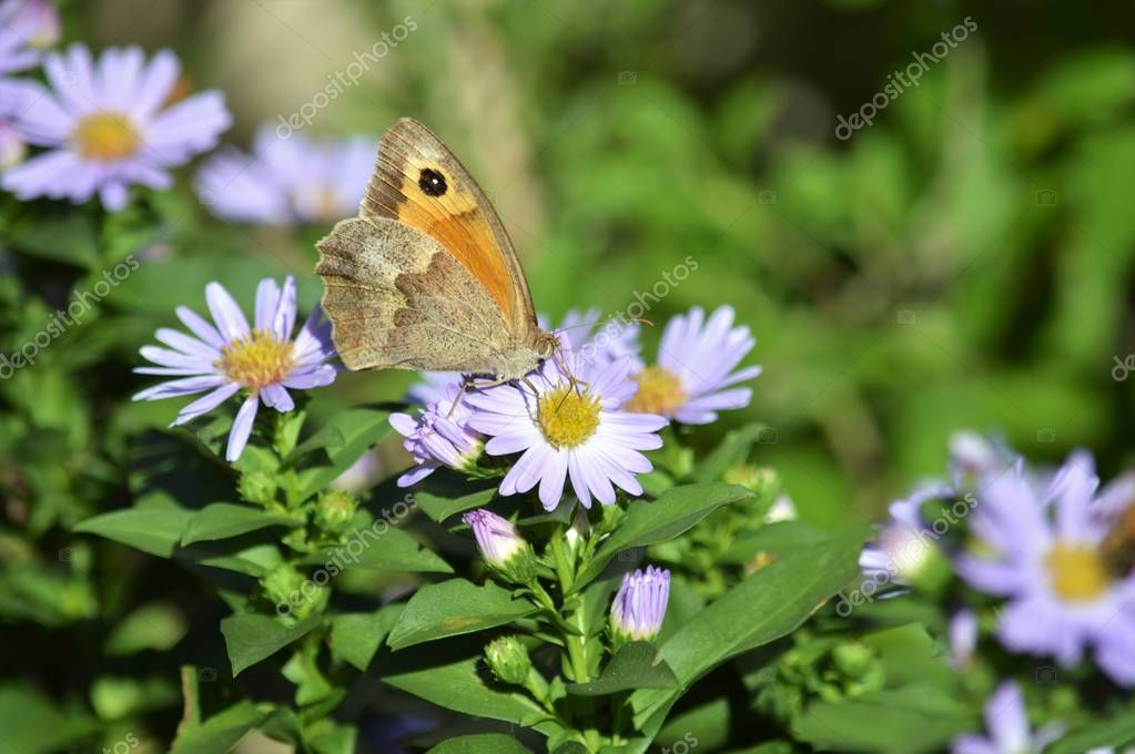 Close-up of a Beautiful Butterfly on Aster Flowers, Nature, Macro