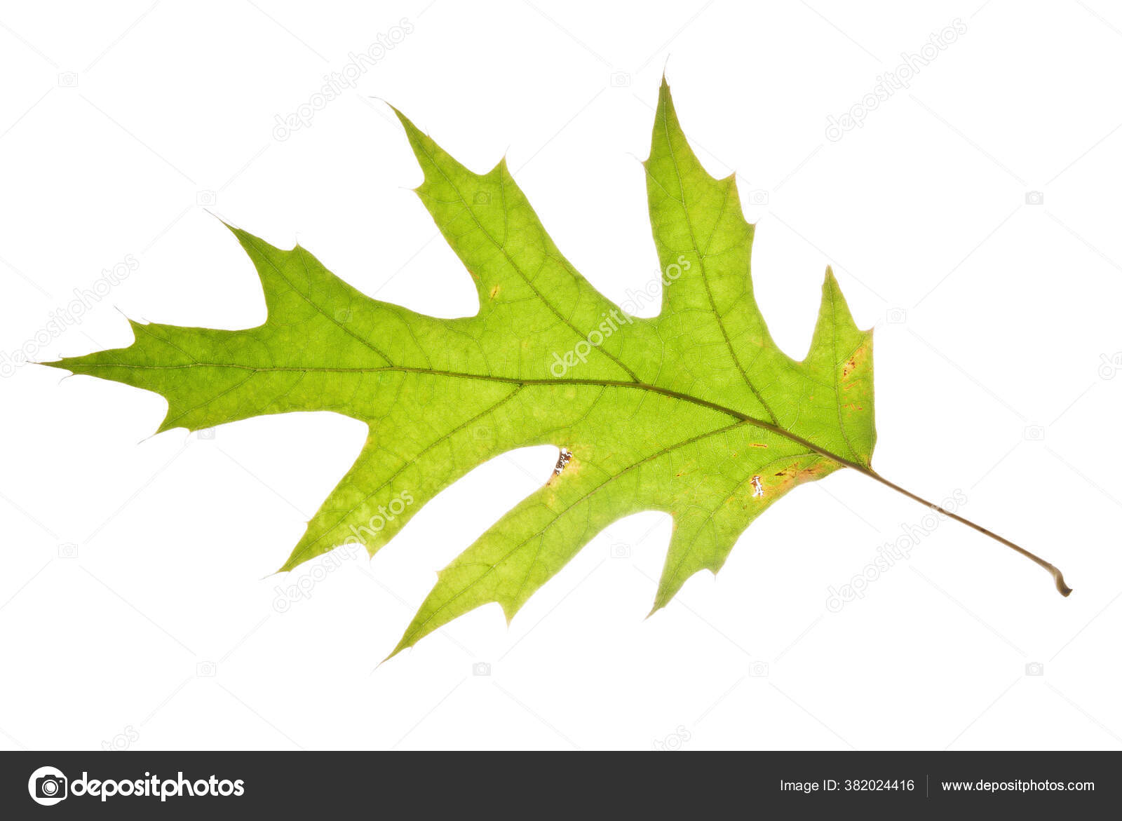 Close Autumn Pin Oak Leaf Isolated White Backgroun Stock Photo C Mlanger 382024416