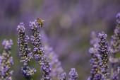 Levandule a bee detail, capturedd v Senanque opatství v Provence, Francie