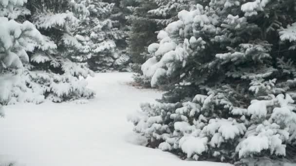 Zimní sezóna. Zasněžené jedle jsou v sněhové bouři.
