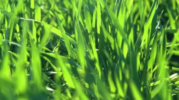 Junge Triebe sind auf dem Feld. Nahaufnahme von grünem Gras.