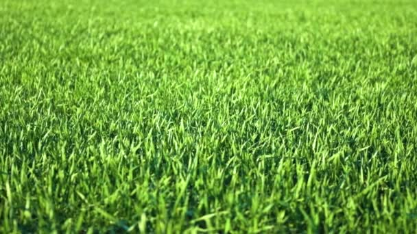 Young sprouts are on the field. Green grass closeup.
