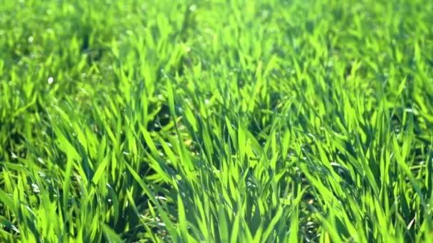 Mladé kapusty jsou na hřišti. Zelená travní sraženin.