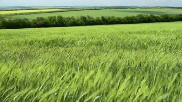 Zöld búzaszínig csírájára vannak a területen, és szép felhős. Tavaszi táj.