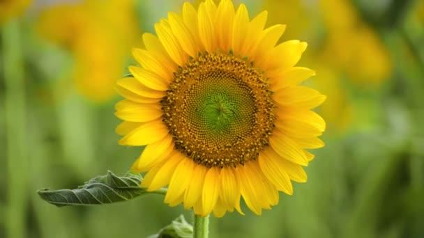 Slunečnicové pole-Nádherná letní krajina