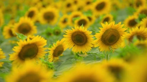 Slunečnicové pole-zářivě žluté květiny, nádherná letní krajina
