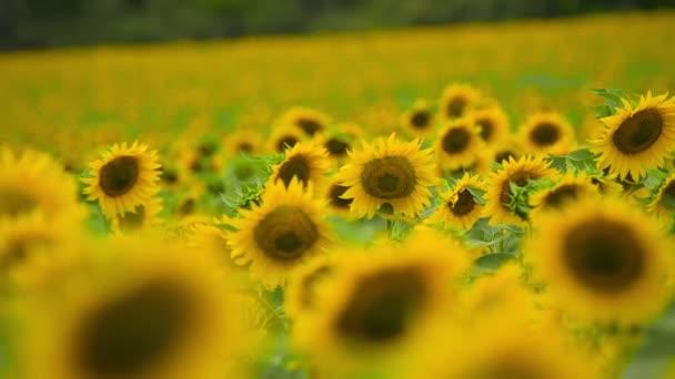 Napraforgó mező-fényes sárga virágok, gyönyörű nyári táj
