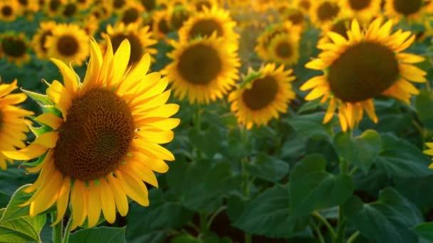 jasné slunečnicové pole, krásná krajina a západ slunce