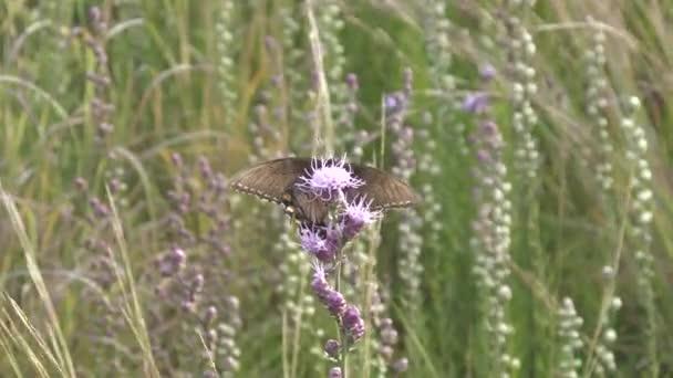 Černá otakárek butterfly hladově shromažďování jeho nektar z květů prérie