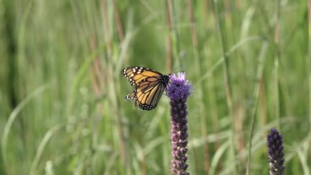 Monarch butterfly perched on a prairie blazing star wild flower getting its nectar.