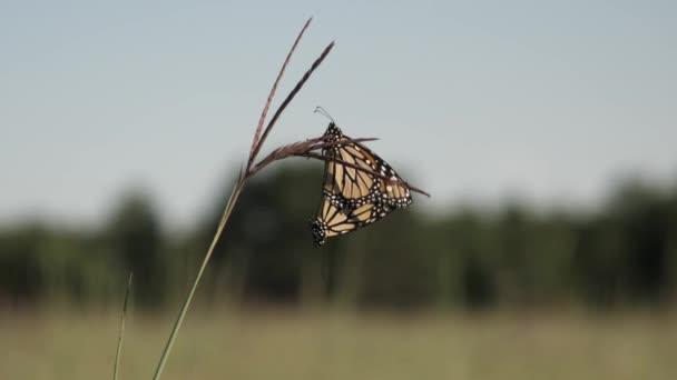 Monarcha motýlů páření na prérii