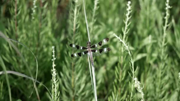 Libelle thront an einem böigen Tag auf einem hohen Präriegras.