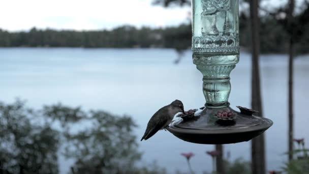 Ruby-throated ženské kolibřík natáčel zpomaleně jezera pití z nektaru podavač