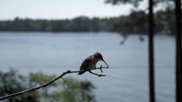 Kolibříkovi přistane v pomalém pohybu u jezera k čištění zobáku na větvičce