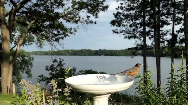 Robin, s jezerem v pozadí, doušky vody z ptačí lázeň