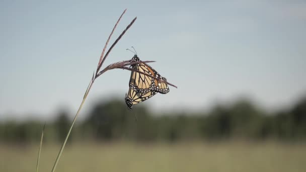 Two monarch butterflies mating.