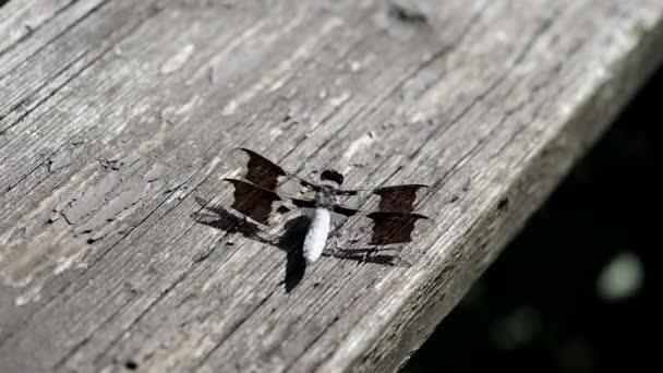 Libelle haucht aus nächster Nähe ein und aus.