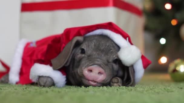 Egy kis malac Mikulás jelmez abban rejlik, hogy a karácsonyi és újévi belső és vicces orr mozog. Jelképe az év a kínai naptár. fenyő alapon. Ünnepek, a tél és az ünnep fogalma