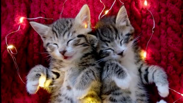 4k Two striped kittens sleeping with Christmas lights on red. Cats lying on back. Holidays and relax