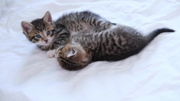 4k two striped domestic kittens falling asleep, lying on white light blanket on bed. Sleep and play cat. Concept of adorable pets.