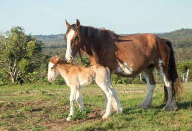 clydesdale horses are very large and heavy and can pull great weights. Photographed near Hervey Bay. Australia foal only a week old