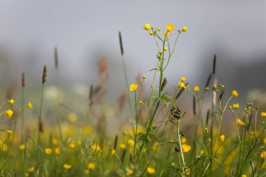 Yellow Buttercup Flowers Field on Overcast Spring Day with Foggy Background