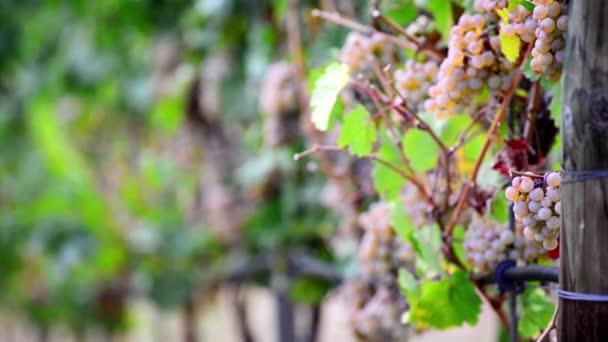 Záběry ze zralých hroznů na keři ve vinařství, Změna hloubky ostrosti