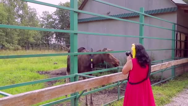 July 27, 2018 Russia, the city of Kostroma, Sumarokovo Elk Farm. A young woman is taking pictures of moose.