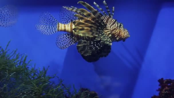 hal pteryos az akváriumban, az algák között.
