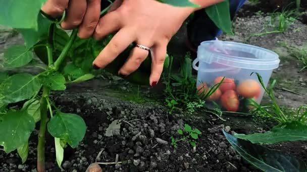 Weibliche Hände entfernen reife Paprika von einem Zweig.