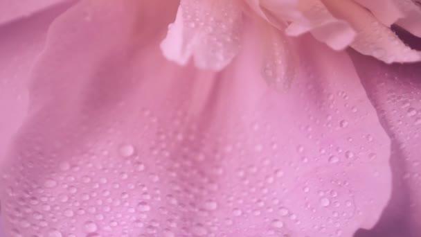 große rosa Pfingstrosenblätter in Tautropfen. natürlicher floraler Hintergrund