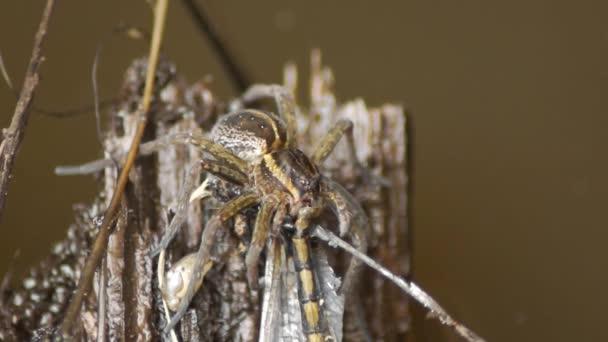 Pók dolomedes eszik szitakötő. Rovarpusztaság