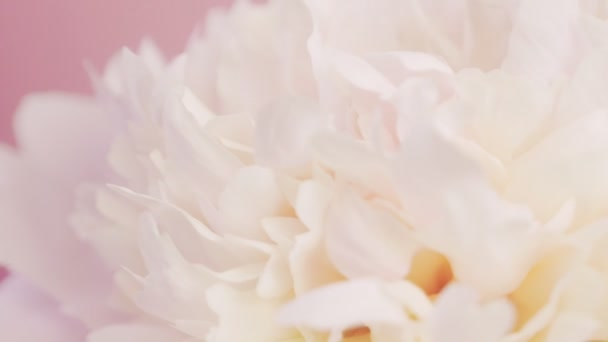 White peony on a pink background. Natural floral background