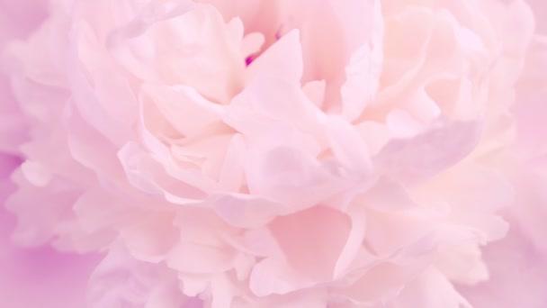 Rózsaszín bazsarózsa szirmok. Természetes virágos háttér. Valentin-napi koncepció, esküvői háttér