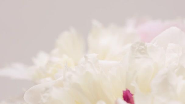 Fehér bazsarózsa szirmok. Természetes virágos háttér. Valentin-napi koncepció, esküvői háttér
