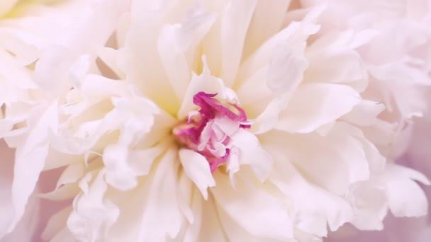 Bílé peonky s růžovým středem. Přirozené květinové pozadí. Denní pojetí valentinek, svatební pozadí