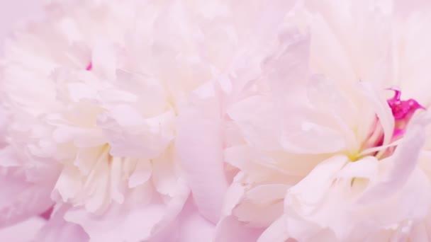 Pink természetes háttér egy csokor peonies. Valentin-napi koncepció