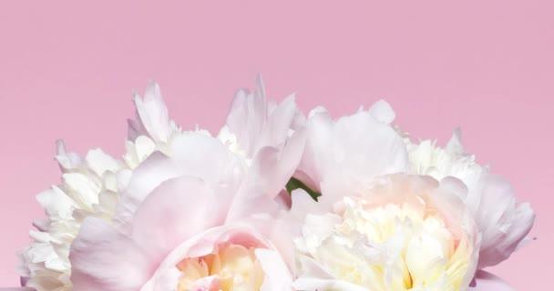 Květinové pozadí s růžovými a bílými peoniemi. Kytice kvetoucích květin, čas zanikne. Svatba, Valentýnský den a milostný koncept