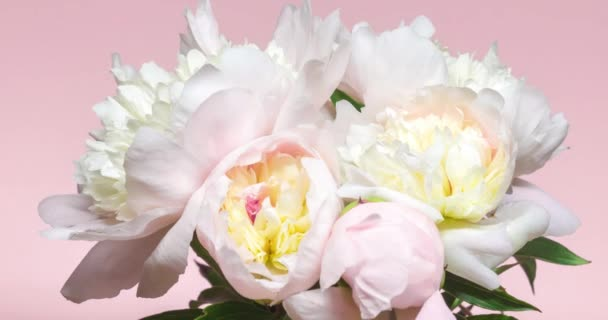 Natural floral background with pink and white peonies on pink. Bouquet of blooming flowers, time lapse. Wedding, valentines day and romance concept