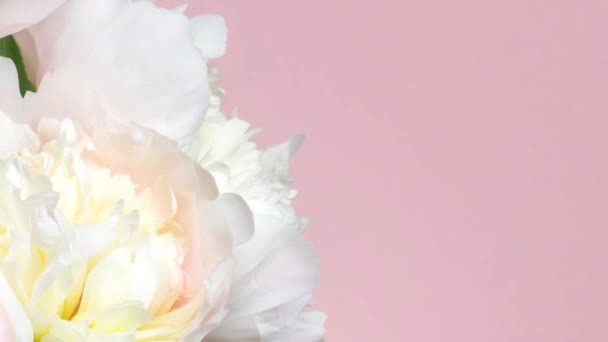 Floral background with pink and white peonies on pink. Bouquet of blooming flowers, time lapse. Wedding, valentines day and romance concept