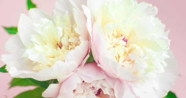 Floral background with pink and white peonies. Three blooming flowers, top view, time lapse. Wedding, valentines day and romance concept