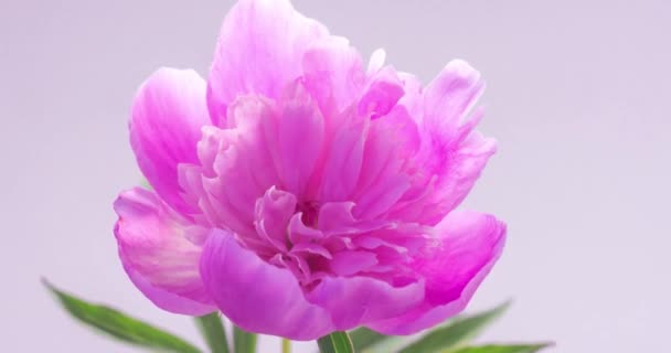 Natural floral background with pink peony. One blooming flower, time lapse. Wedding, valentines day and romance concept