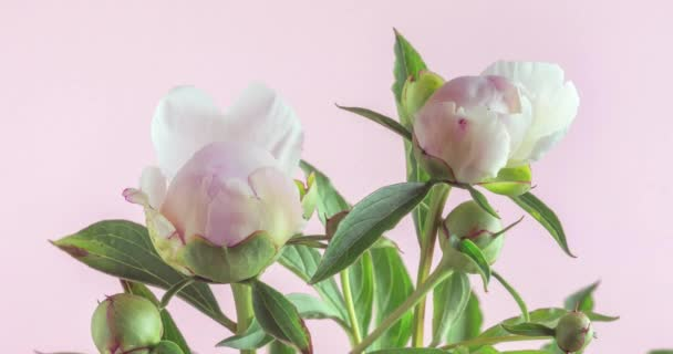 Floral background with pink and white peonies. Two open buds, time lapse. Wedding, valentines day and romance concept
