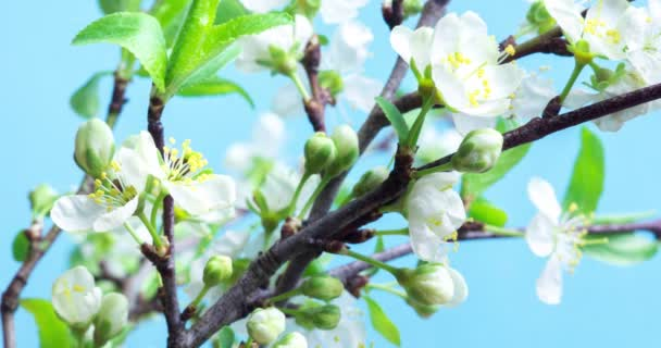 Nádherné přirozené pozadí s kvetoucí švestkovou větví. Jemné bílé květiny na modrém pozadí. UHD 4k 4096x2160