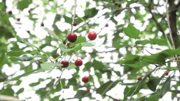 Červené bobule na větvích třešňového stromu. Zahrádkářska, ovocnou sezónu