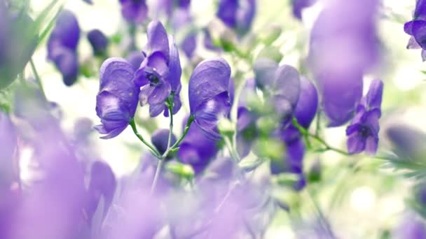 Aconitum flowers. Natural floral background, close up
