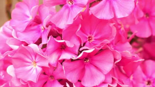 Pink phlox flowers. Natural floral background, macro