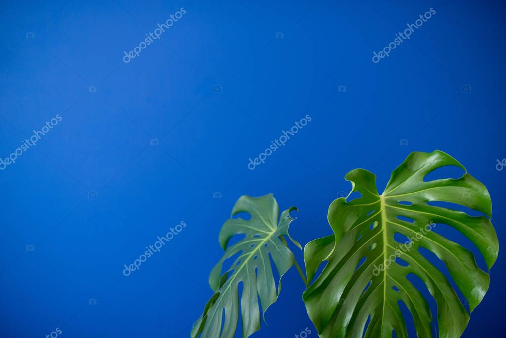 Tropical Jungle branches leaves Monstera on blue color background. Flat lay. Flat lay of Botanical nature. Floral elements design,Green foliage