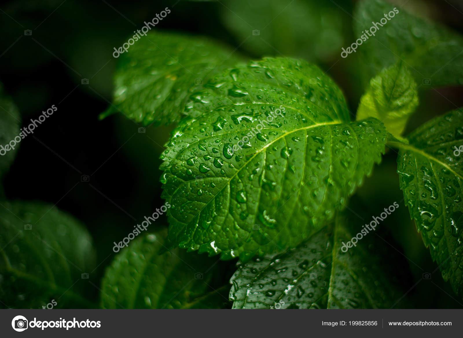 Feuilles Vertes De Hortensia Gouttes Deau Sur Les Pluie Workbench Pour Une Carte Visite Image Alexandritikgmail