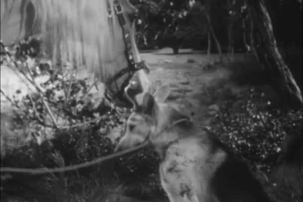 Koně a německý ovčák lízání navzájem na obličeji, 1940s
